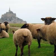mouton de pré-salé